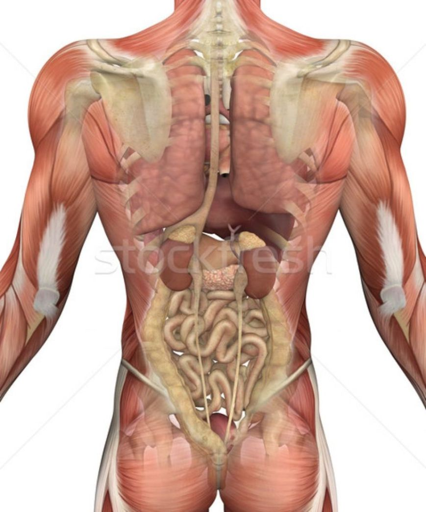 anatomy of organs back view
